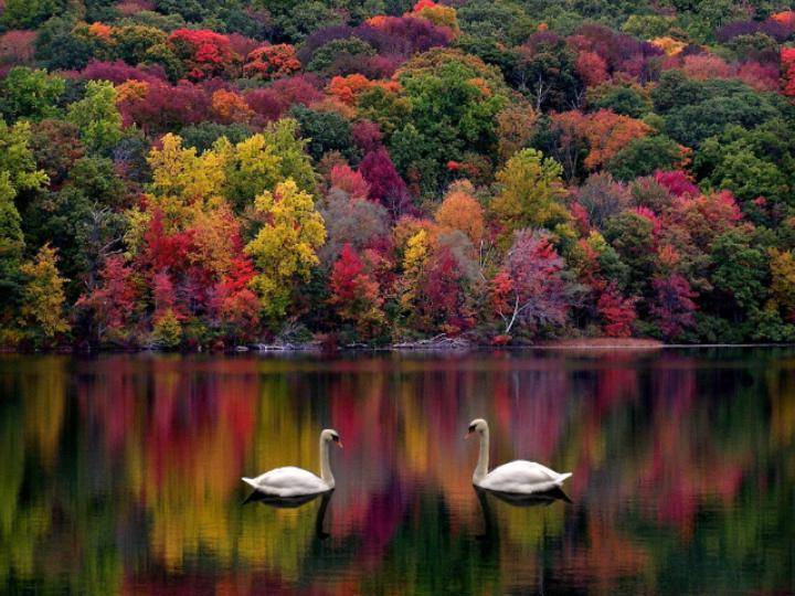 Swans on Fall lake